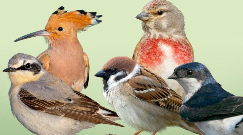 NABU: Wahl zum Vogel des Jahres